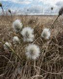 Cotton Grass, Cheetham Close