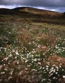 Great Hill & Cottongrass