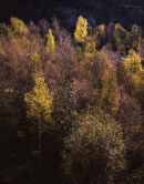 Backlit Birch