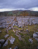 Dead Tree, Wharfe Wood