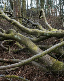 Fallen Tree, Wayoh