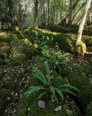 Ferns, Eaves Wood
