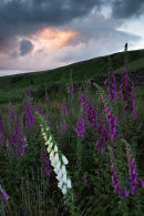 Foxgloves at Dusk