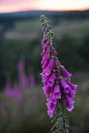 Foxgloves 02