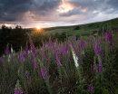 Foxglove Sunset