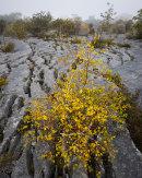 Golden Birch, Gaitbarrow
