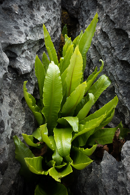 Hart's Tongue Fern, Southerscales