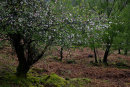 Hawthorn Blossom, Borrowdale