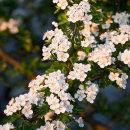 Sunlit Hawthorn Blossom