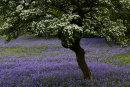 Hawthorn & Bluebells, Oxenber