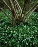 Hazel & Ramsons, Bottom Wood