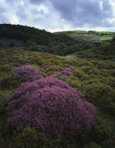 Heather, near Clougha