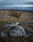 Hawthorn, Holme Park Fell