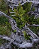 Juniper, Limestone, Ferns