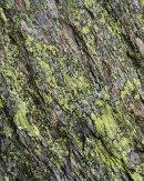 Erratic Lichen