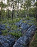 Limestone and Birch, Whitbarrow