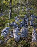 Limestone and Birch Woods