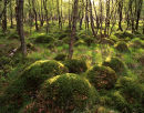 Polytrichum Mounds