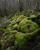 Moss Covered Limestone, Park Wood