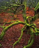 Mossy Tree, Roddlesworth