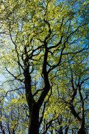 New Foliage, Beech Copse