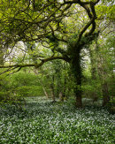 Oak & Ramsons, Bottom Wood