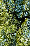 Oak Tree, Wayoh