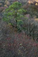 Pine Tree, Barrowfield Wood