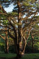 Pine Trees, Arnside Knott