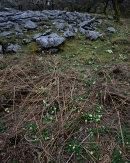 Primrose & Limestone, Oxenber