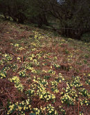 Primrose, Oxenber Wood