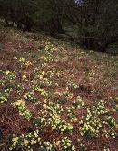 Primrose, Oxenber Woods