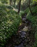 Ramsons, Spring Wood 02
