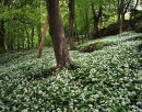 Ramsons, Brown Robin