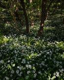 Ramsons, Grubbins Wood