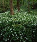 Ramsons, Marles Wood