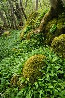 Ramsons, Park Wood