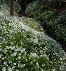 Ramsons, Spring Wood 06