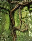 Root, Cringlebarrow