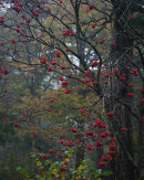 Berries, Eaves Wood
