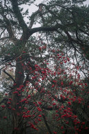 Rowan Berries, Eaves Wood