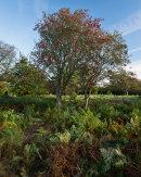 Rowan, Wharfe Wood