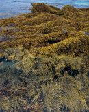 Seaweed, Feall Bay, Isle of Coll