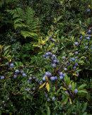 Sloe Berries, Hutton Roof
