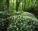 Ramsons, Spring Wood
