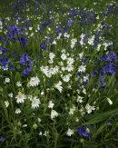 Stichwort and Bluebells, Longworth Clough