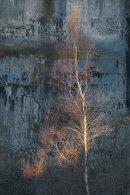 Sunlit Birch Tree, Malham Cove