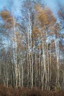 Swaying Birch