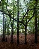 The Beech Circle, Eaves Wood