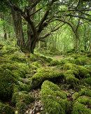 Yew, Eaves Wood